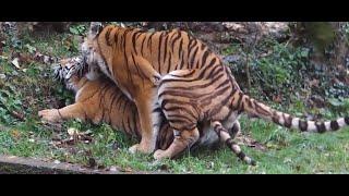 Kaplanların Çiftleşmesi | Hayvan Çiftleşmeleri