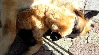超大型犬レオンベルガーアルフとトイプードルみるくの可愛いバトル.