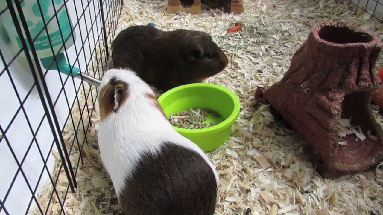 How to clean a guinea pig c cage youtube
