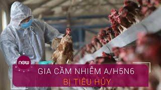 Hàng chục nghìn gia cầm nhiễm A/H5N6 bị tiêu hủy | VTC Now