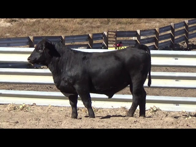 Connealy Angus Lot 113