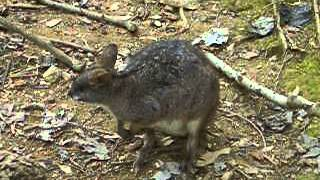 カンガルー科の哺乳類のうち、小形の一群をワラビーというそうです 本当...