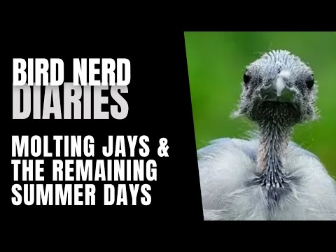 molting-blue-jays-&-the-remaining-summer-days---bird-story