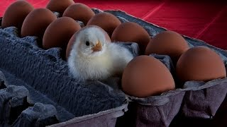 How to raise Chickens, incubation, rearing, feeding, housing, Chicks Hatching
