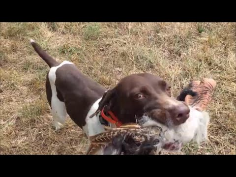 Train Dog to play Scenting Games..English Cocker & German Shorthaired Pointer