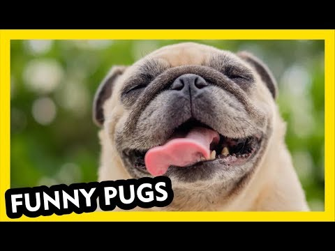 Amazing Pug Videos - Funny Dogs Part 1