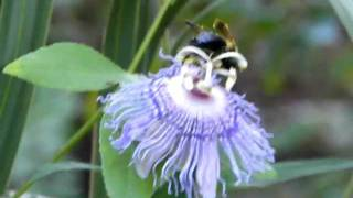 Bee on a Passion flower, Pollination