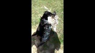 Как научить собаку приносить дичь(ягдтерьер)дрессировка