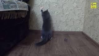 Кот кусает себя