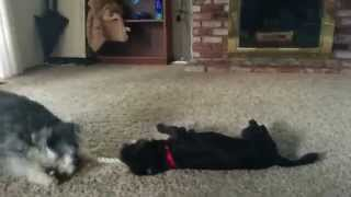 Schnauzer Puppy Drags Terrier With Rope Toy