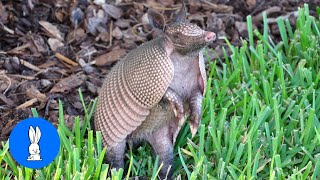 Cute ARMADILLO compilation - NEW 2019