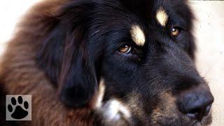 Породы собак - Тибетский мастиф. [English Mastiff (Dog Breed)]