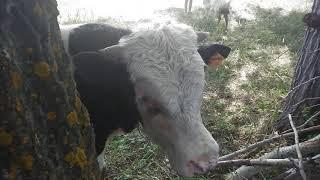 Нападение быка