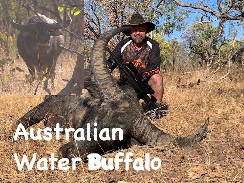 Australian Water Buffalo, Hunting Australia