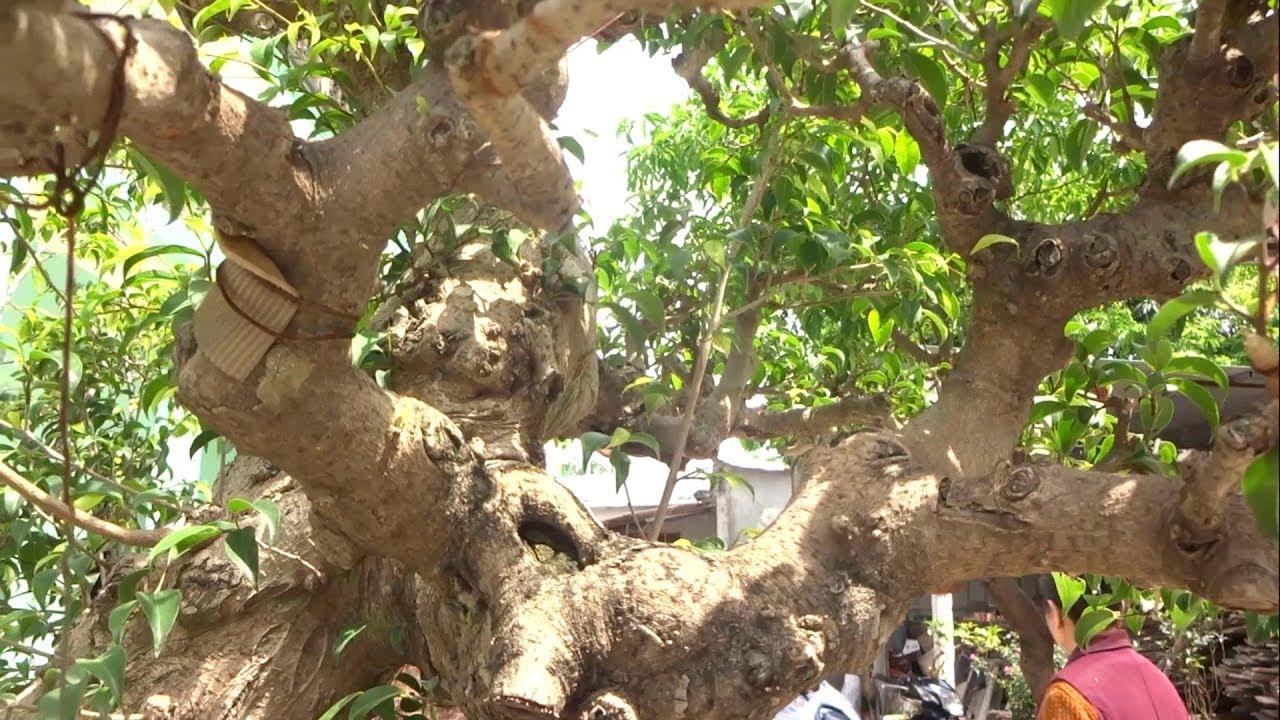 Bí quyết tạo sẹo tự nhiên và u cục cho cây với bạn mới chơi - how to make bonsai tree more beautiful