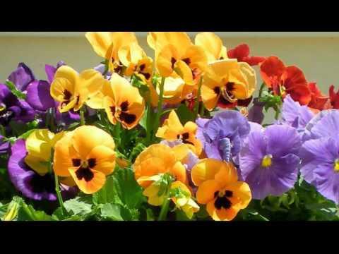 W.A. Mozart Serenade K.V. 525 Romanze (andante)* Musique et fleurs de printemps III