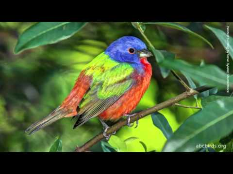 Painted Bunting Song