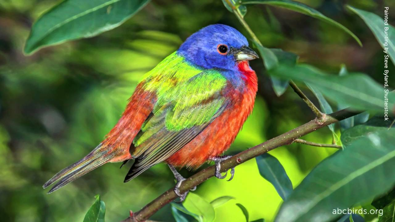 painted bunting song youtube
