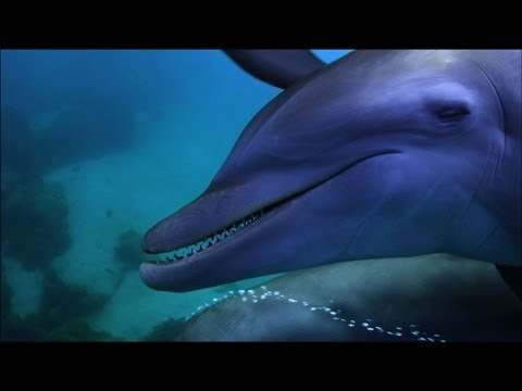 Dolphins purposely 'getting high' on pufferfish - Dolphins - Spy in the Pod: Episode 2 - BBC One