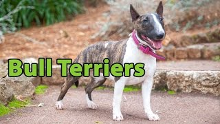The Right Companion: Bull Terrier