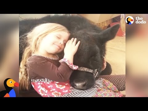 Girl Sneaks Baby Cow Into Her House And The Cow Breaks In Again A Year Later | The Dodo
