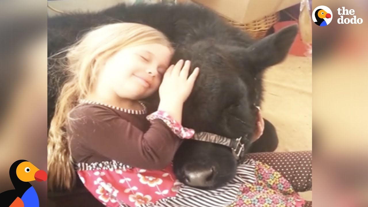 Girl Sneaks Baby Cow Into Her House And The Cow Breaks In Again A Year Later