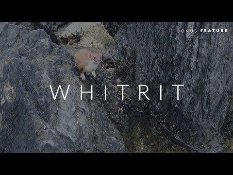 Whitrit - Shetland Stoat