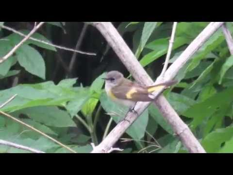 American Redstart Female (Setophaga ruticilla) Does a Backflip While Catching Insects