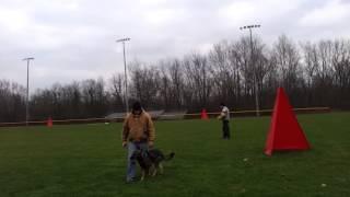 German Shepherd Police Dogs In Training, Michigan