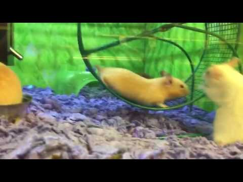 Hamster Has Epic Fail on Running Wheel