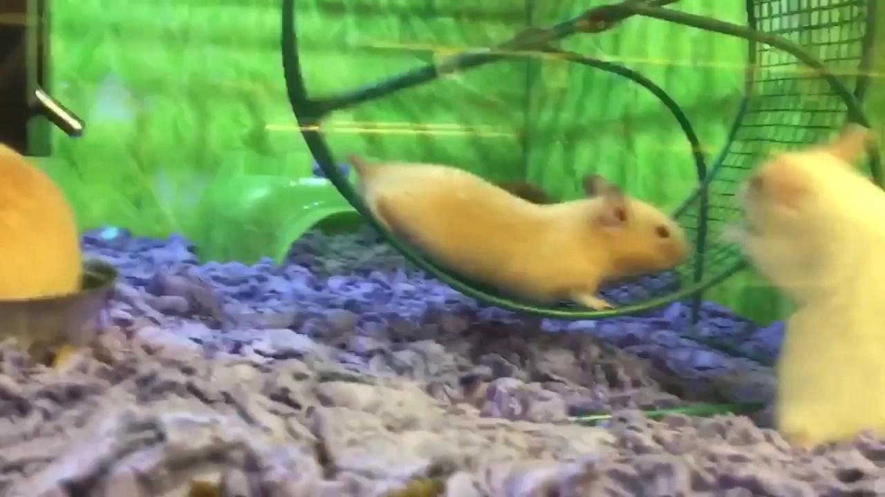 Petsmart Hamsters Stuck On Wheel Funny Youtube