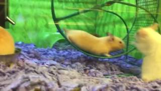 Funny Video: Hamster Scared For His Life On Running Wheel