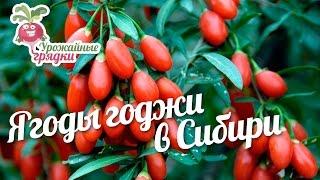 Ягоды годжи в Сибири #urozhainye_gryadki