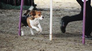 Beagle Dona Agility 1st Place