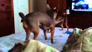 the chihuahuas doing the humpty dance crazy dogs