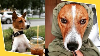 BASENJI  Watch This Before Getting A Basenji Puppy  Pros & Cons of the Basenjis Dog Breed Puppies