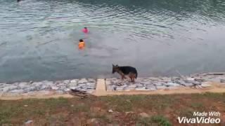 Chú chó cứu chủ bị đuối nước