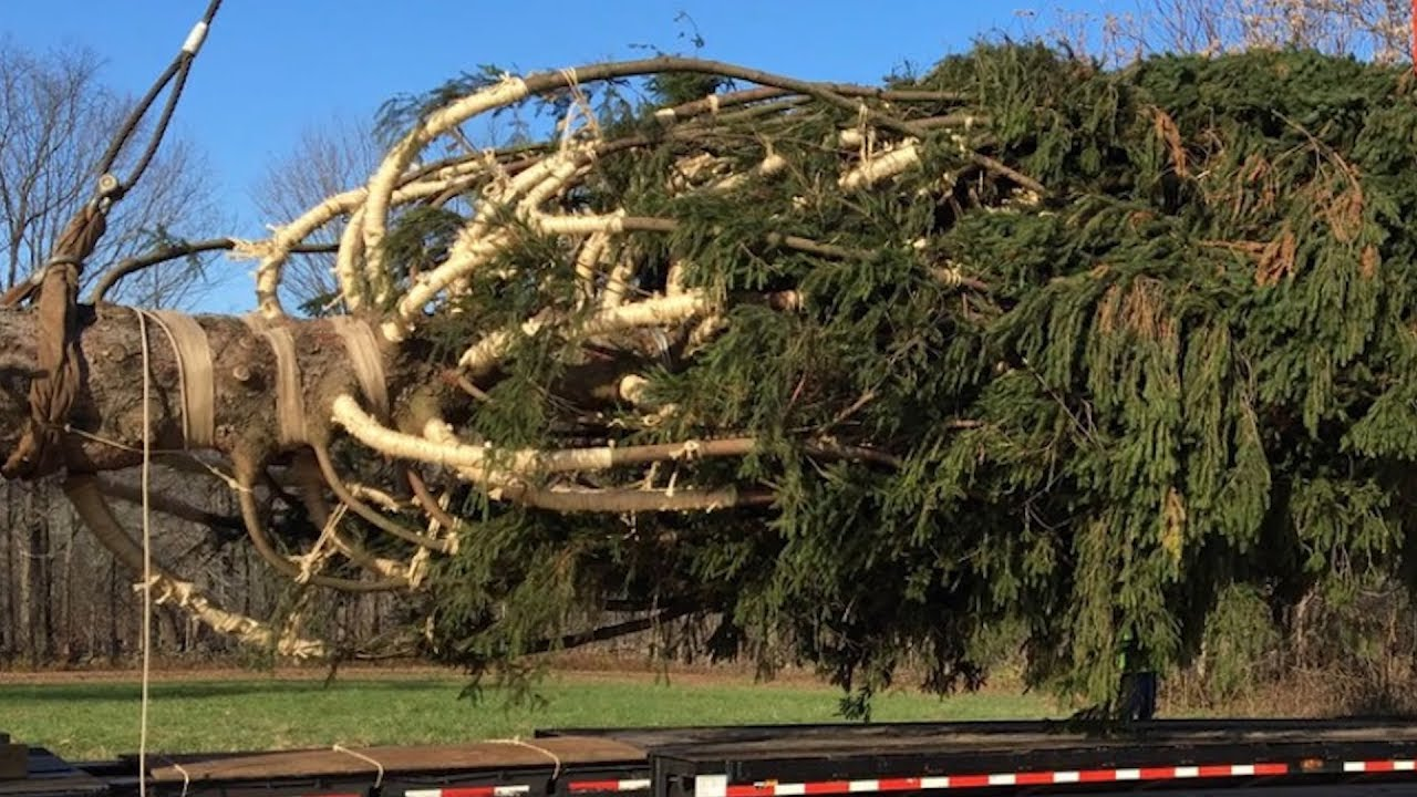 72-Foot Tall Norway Spruce Gets Cut Down For Rockefeller Christmas ...