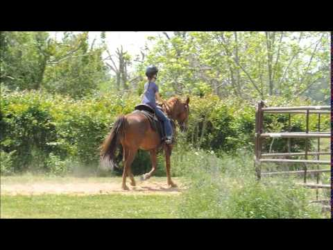 Sorrel Tennessee Walking Horse Mare at work