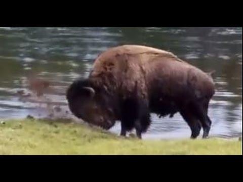 Buffalo Swimming - Yellowstone National Park