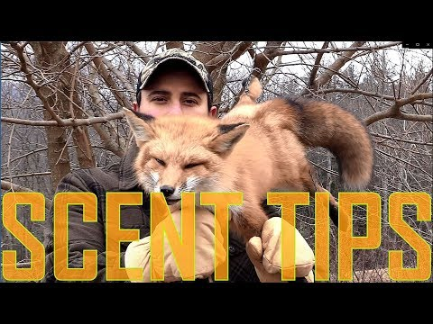 Coyote & Fox Trapping Scent Control Tips