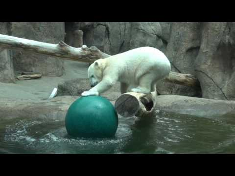 Thumbnail: Polar bear Nora has a ball