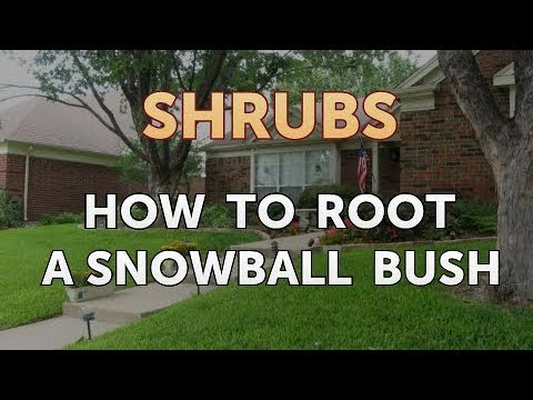 How To Root A Snowball Bush