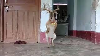 Deer dance by shivang maurya