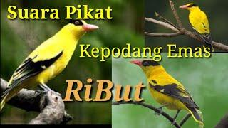 Download Mp3 Suara Pikat Burung Kepodang Emas /// Ampuh