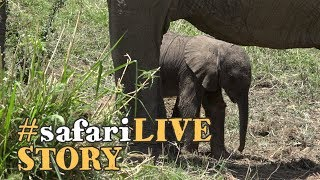 A baby elephant's struggle for life