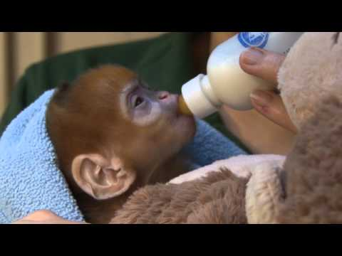 Cute ginger monkey born at ZSL London Zoo