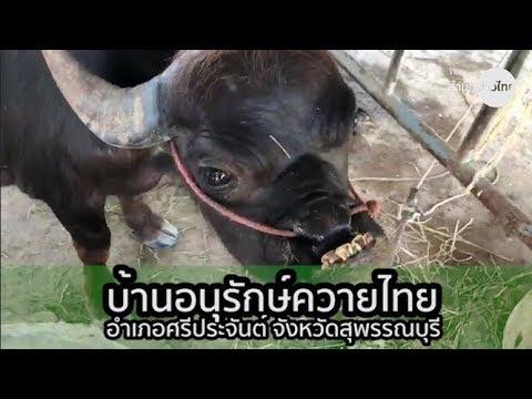 ควายไทยๆ บ้านอนุรักษ์ควายไทย สุพรรณบุรี
