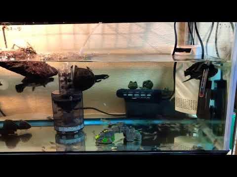 亀さんに生き餌釣具屋さんで入手したモエビ