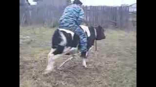 Прикол,игры с быком